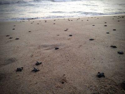 Čestvě narozené želvičky na své první cestě do moře