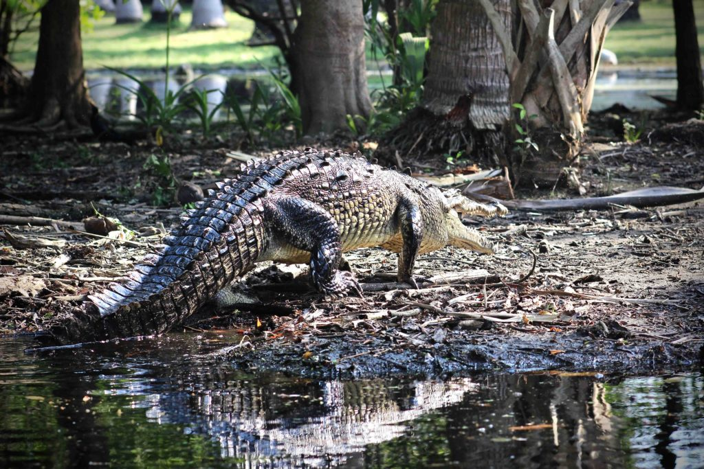 Krokodýl Ventanilla