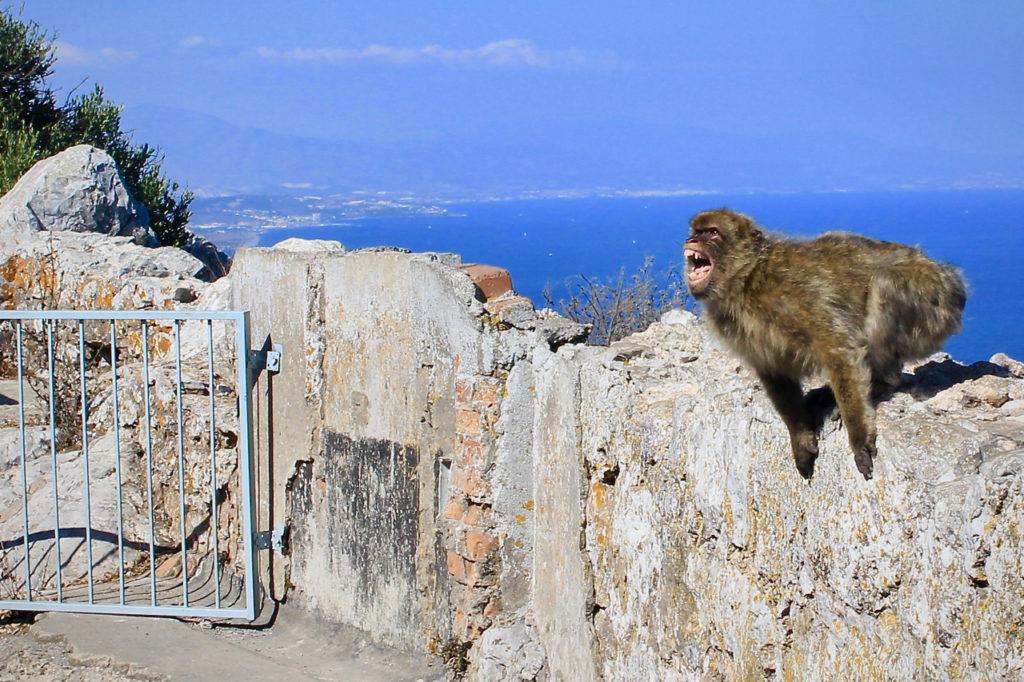 gibraltar opice